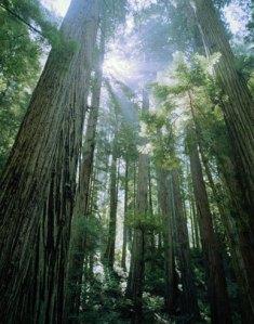 Flower Society Redwood Trees Plant Profile