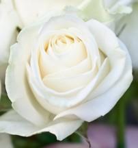 Rose.jpg-rosepicturesphotos-9